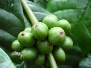Coffea canephora (Robusta)