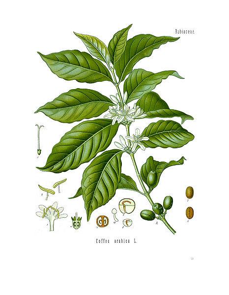 Diagramm Coffea arabica - Kaffeeanbau