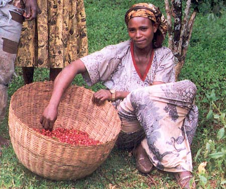 Ethiopen coffeelady - Kaffeeernte