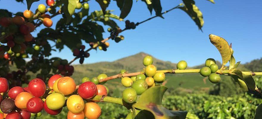 Kaffeeplantage Brasilien